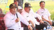Bupati Safrial Hadiri Panen Padi Perdana Desa Tanjung Bojo