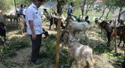 Ahmad Syaikhu saat melakukan peninjauan hewan kurban. Foto: Goeng/Hms
